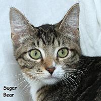 Adopt A Pet :: Sugar Bear B - Sacramento, CA