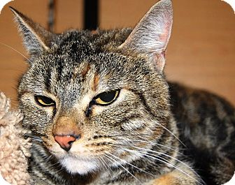 Domestic Shorthair Cat for adoption in Whittier, California - Haunches