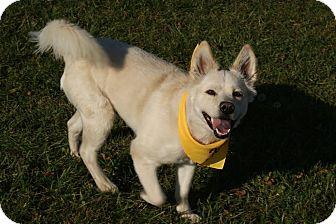 Samoyed/Husky Mix Dog for adoption in Urbana, Ohio - Cotton Beatty