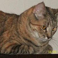 Domestic Shorthair Cat for adoption in San Jose, California - Midge