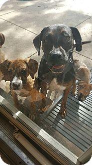 Boxer Mix Dog for adoption in Orland Park, Illinois - MELA
