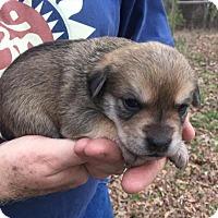 Adopt A Pet :: Female Puppy Tillie - Alabaster, AL