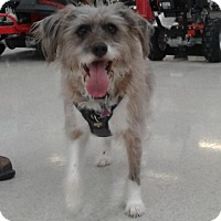 Adopt A Pet :: Auggie - Rockford, IL