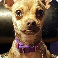 Adopt A Pet :: zzFrida - Dallas, TX