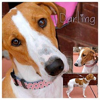 Ibizan Hound/English (Redtick) Coonhound Mix Dog for adoption in Garden City, Michigan - Darling