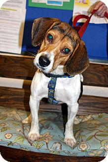 Beagle Dog for adoption in Big Canoe, Georgia - Gretchen