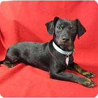 Dachshund/Miniature Pinscher Mix Puppy for adoption in Lodi, California - Ramsey