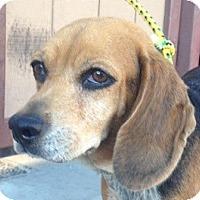 Adopt A Pet :: Dixie - Canoga Park, CA