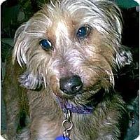 Adopt A Pet :: Ivan - dewey, AZ