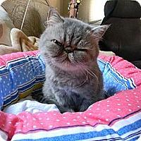 Adopt A Pet :: Sookie - Beverly Hills, CA