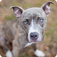 Adopt A Pet :: Vena - Reisterstown, MD