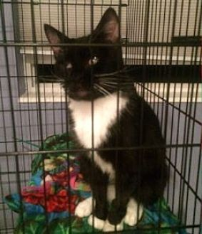 Domestic Shorthair Cat for adoption in Ogden, Utah - Boots