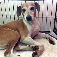 Adopt A Pet :: BRODY - LEXINGTON, KY