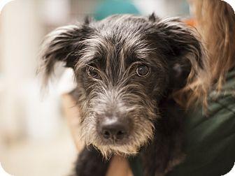 Schnauzer (Miniature)/Terrier (Unknown Type, Medium) Mix Puppy for adoption in Dallas, Texas - Griffin