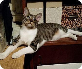 Domestic Shorthair Cat for adoption in Staten Island, New York - Maurice