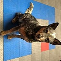 Adopt A Pet :: ACD Josiah (Farm) - Remus, MI