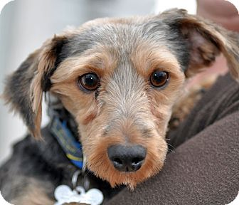 Yorkie, Yorkshire Terrier Dog for adoption in Howell, Michigan - Samuel
