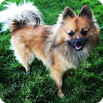 Pomeranian Mix Dog for adoption in Santa Cruz, California - Foxter