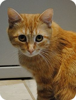 Domestic Shorthair Cat for adoption in Lafayette, New Jersey - Ginger