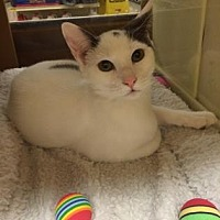 Domestic Shorthair Kitten for adoption in Pompano Beach, Florida - Meadow/MooMoo
