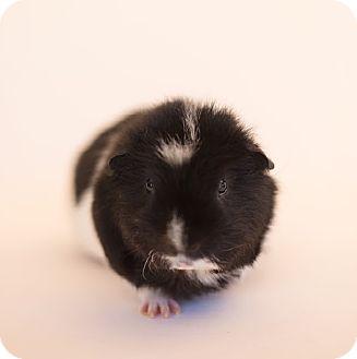 Guinea Pig for adoption in Fullerton, California - Bo