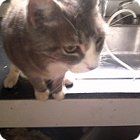 American Curl Cat for adoption in Medford, New York - Nudgie