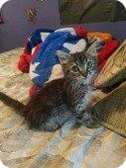 Domestic Mediumhair Kitten for adoption in Hampton, Virginia - JEROME