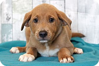 Chow Chow/Retriever (Unknown Type) Mix Puppy for adoption in Waldorf, Maryland - Thomas