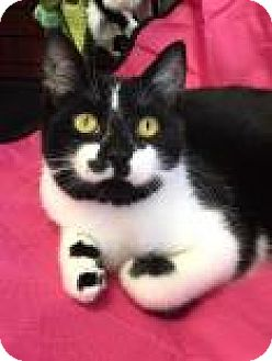 Domestic Shorthair Kitten for adoption in Cheltenham, Pennsylvania - Lucky