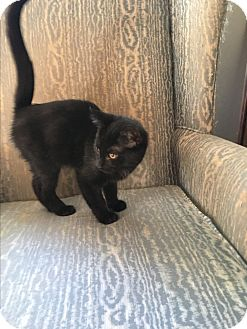 Manx Kitten for adoption in Simpsonville, South Carolina - Clavin