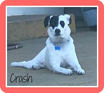 Jack Russell Terrier/Border Collie Mix Dog for adoption in Elburn, Illinois - Crash