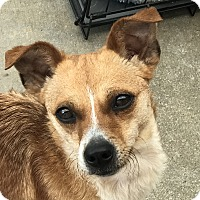 Terrier (Unknown Type, Small)/Springer Spaniel Mix Dog for adoption in San Marcos, California - Ruby 2