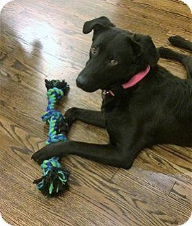 Labrador Retriever Mix Dog for adoption in Broomfield, Colorado - Mae
