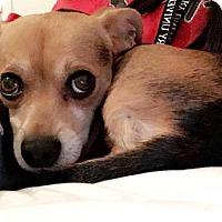 Adopt A Pet :: Teddy - Springfield, MO