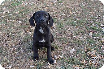 Labrador Retriever Mix Puppy for adoption in Bedford, Virginia - Bandit
