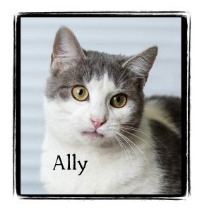 Domestic Shorthair Cat for adoption in Warren, Pennsylvania - Ally