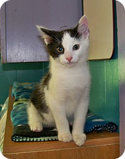 Domestic Shorthair Cat for adoption in Dover, Ohio - Ronnie