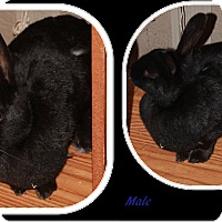 Adopt A Pet :: Onyx - Olmsted Falls, OH