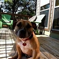 English Bulldog/Boxer Mix Dog for adoption in Austin, Texas - Amber