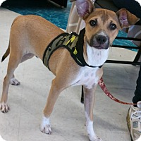 Labrador Retriever/Australian Cattle Dog Mix Puppy for adoption in Phoenix, Arizona - Jake