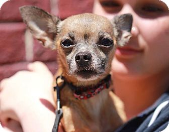 Chihuahua Mix Dog for adoption in San Francisco, California - Annie