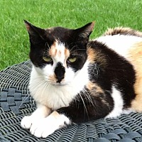Calico Cat for adoption in Mobile, Alabama - Macie