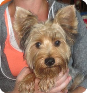 Adopt a yorkie ct