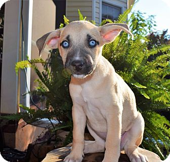 Pit Bull Terrier/Husky Mix Puppy for adoption in Charlotte, North Carolina - Catalina (City Slickers)