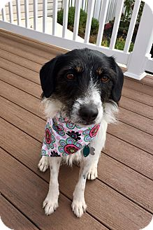 Terrier (Unknown Type, Small) Mix Dog for adoption in New Oxford, Pennsylvania - Hazel