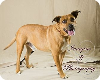 Pit Bull Terrier/Shepherd (Unknown Type) Mix Dog for adoption in Newcastle, Oklahoma - Steve