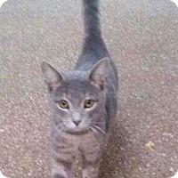 Domestic Shorthair Cat for adoption in Huntington, West Virginia - Captain Crunch