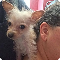 Yorkie, Yorkshire Terrier/Chihuahua Mix Puppy for adoption in Denver, Colorado - Tootie