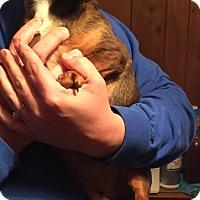 Adopt A Pet :: Darla/Daisy - Stamford, CT