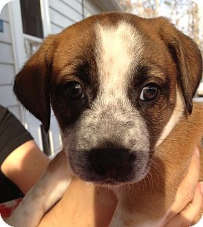 Terrier (Unknown Type, Medium) Mix Puppy for adoption in Richmond, Virginia - Merry